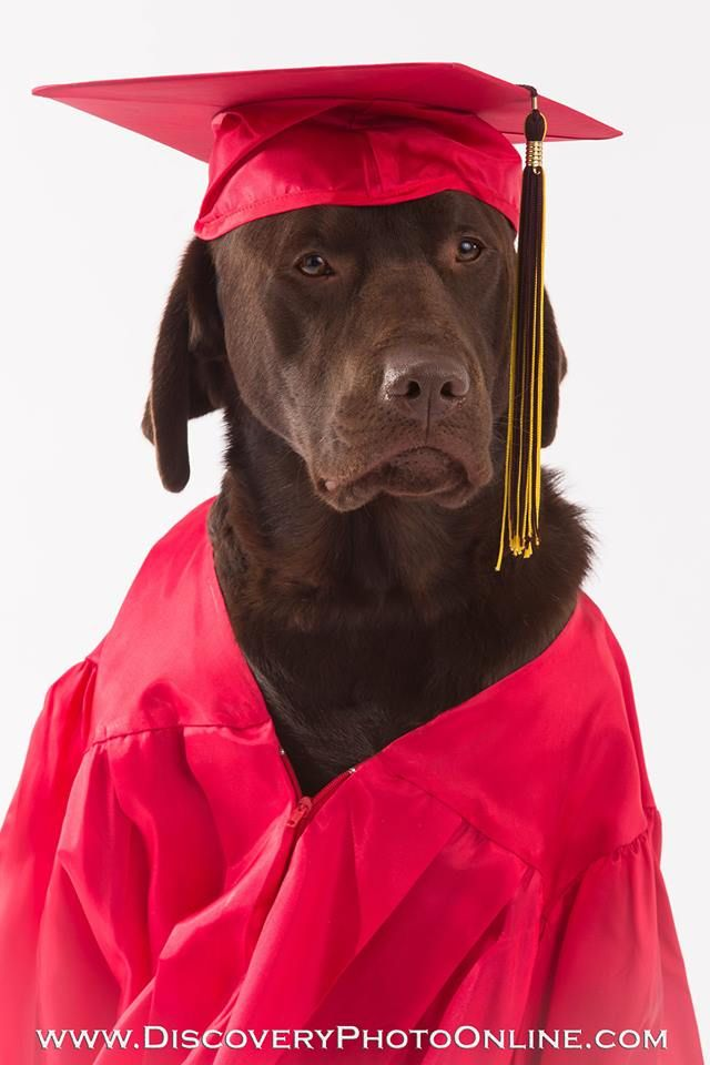 Cedar the service dog, chocolate lab, graduation cap & gown ...
