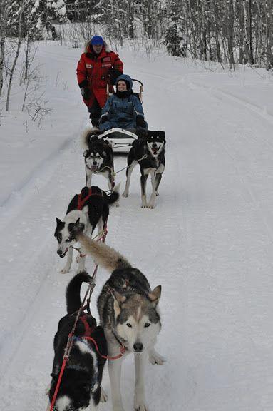 Dogsledding In Northern Saskatchewan Winter In Saskatchewan
