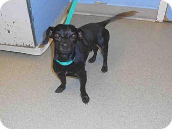 Pueblo Co Dachshund Mix Meet Chewie A Dog For Adoption Http