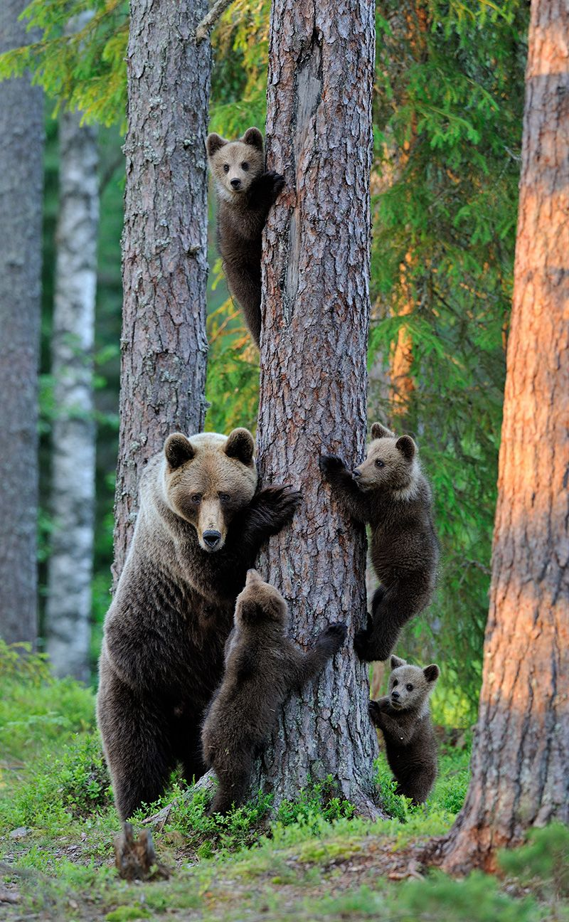 brown bear cubs forest stock photo