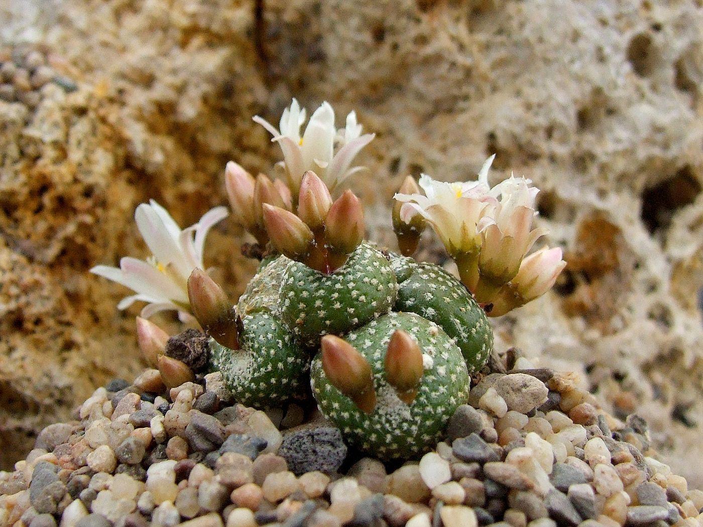 Blossfeldia atroviridis
