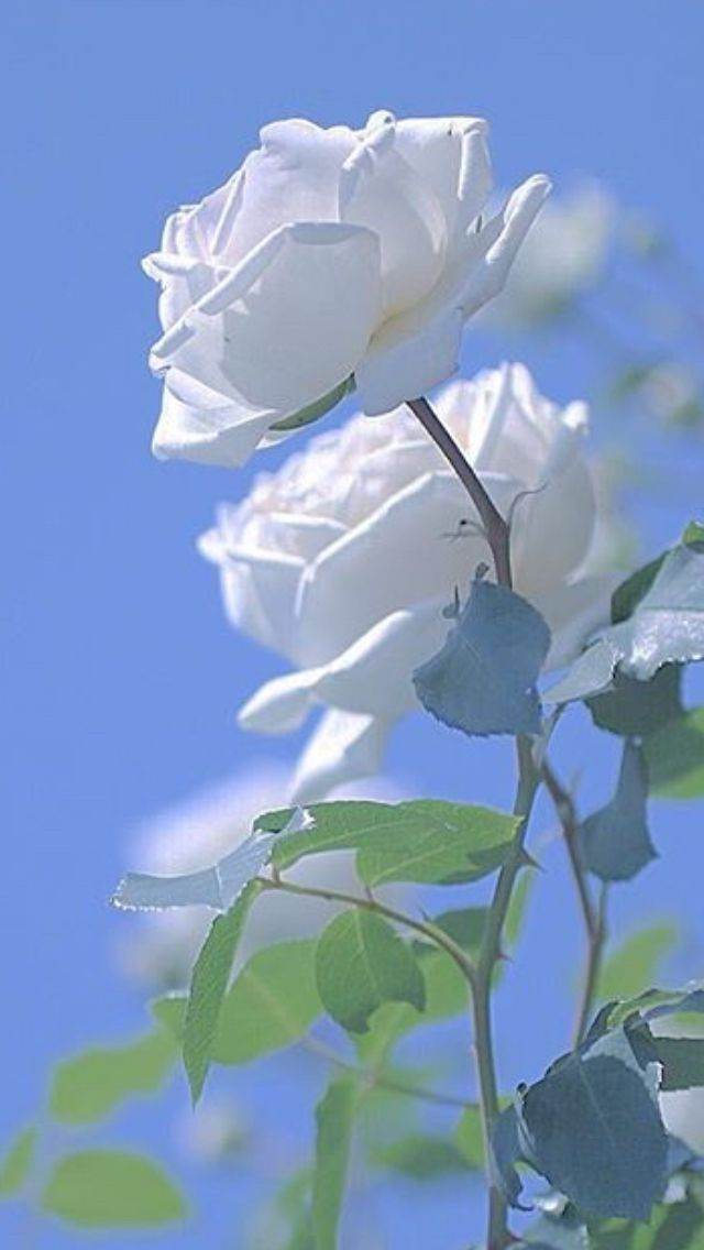 I give you white roses.