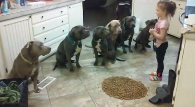 4 Year Old Little Girl Feeding Controlling 6 Pitbulls Pitbulls