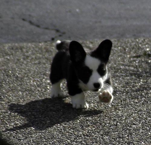 Puppy Cam Bold Little Branwyn Cardigan Welsh Corgi Puppies