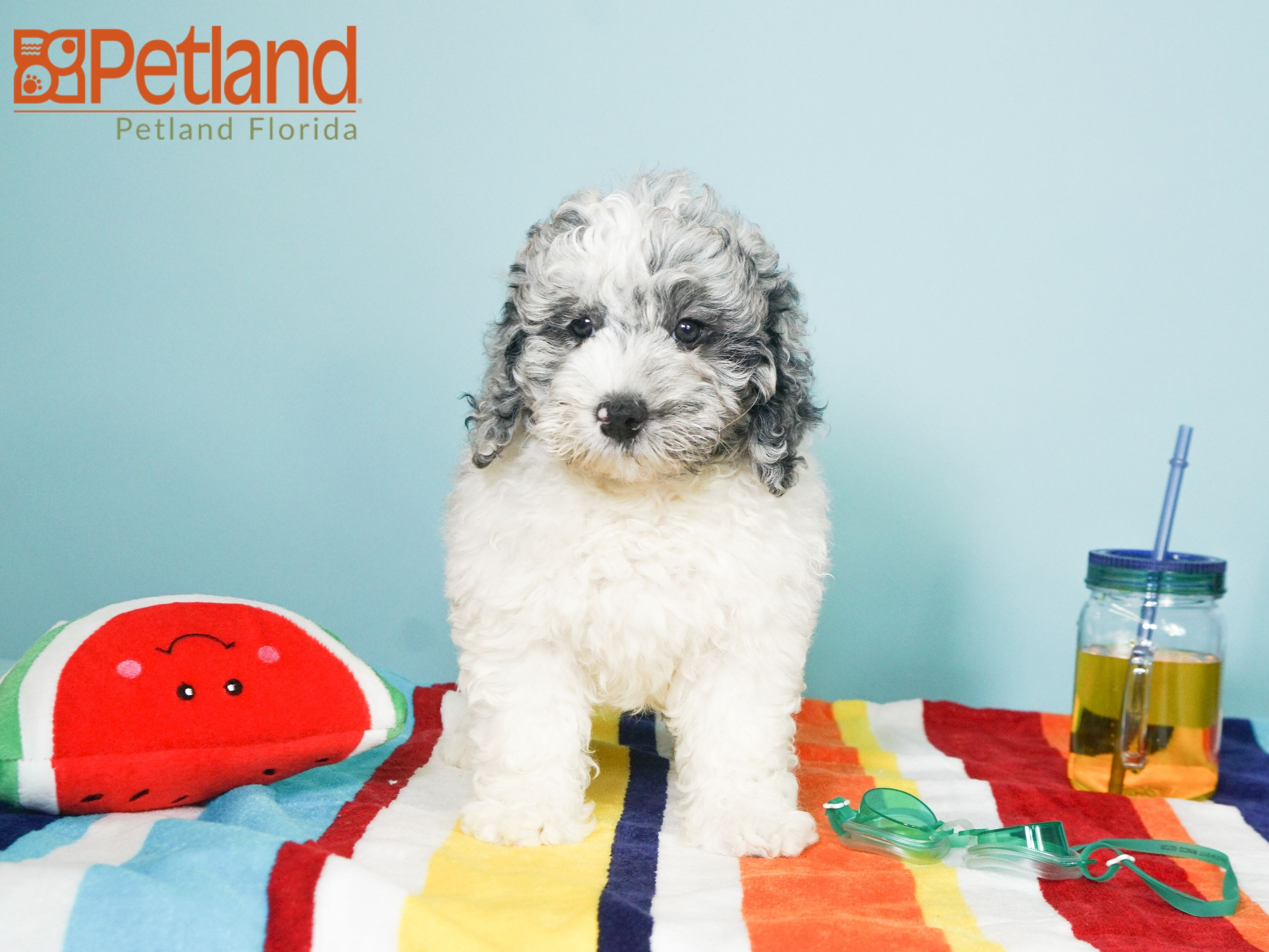 Puppies For Sale Puppy Friends Goldendoodle Puppy Goldendoodle Puppy For Sale