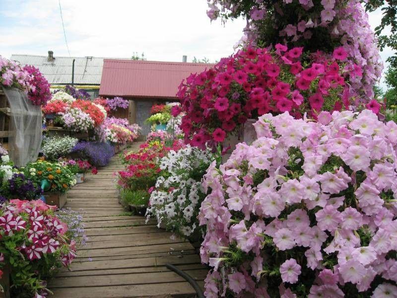 (41) Одноклассники | Петунии, Однолетние цветы, Растения