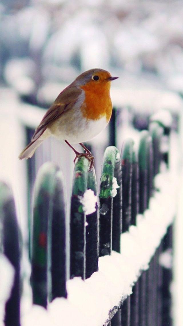 Snow Fence Bird Winter Iphone 5s Wallpaper Download Iphone Wallpapers Ipad Wallpapers One Stop Download Winter Bird Bird Wallpaper Beautiful Birds