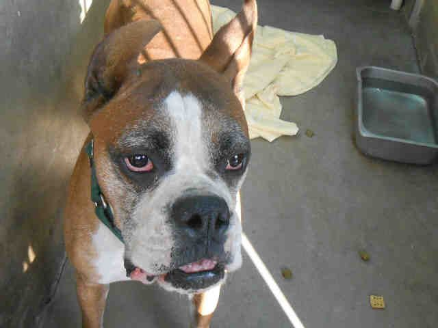 Boxer dog for Adoption in Orange, CA. ADN705474 on