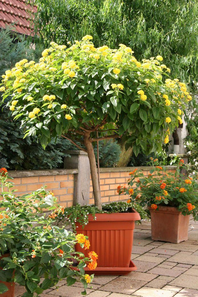 Wandelröschen - bunte Blüten für den Garten #balkonblumen