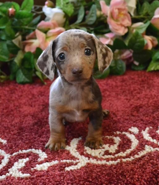 Mini Dachshund Puppies For Sale Black Tan,Doxie Breeder ...