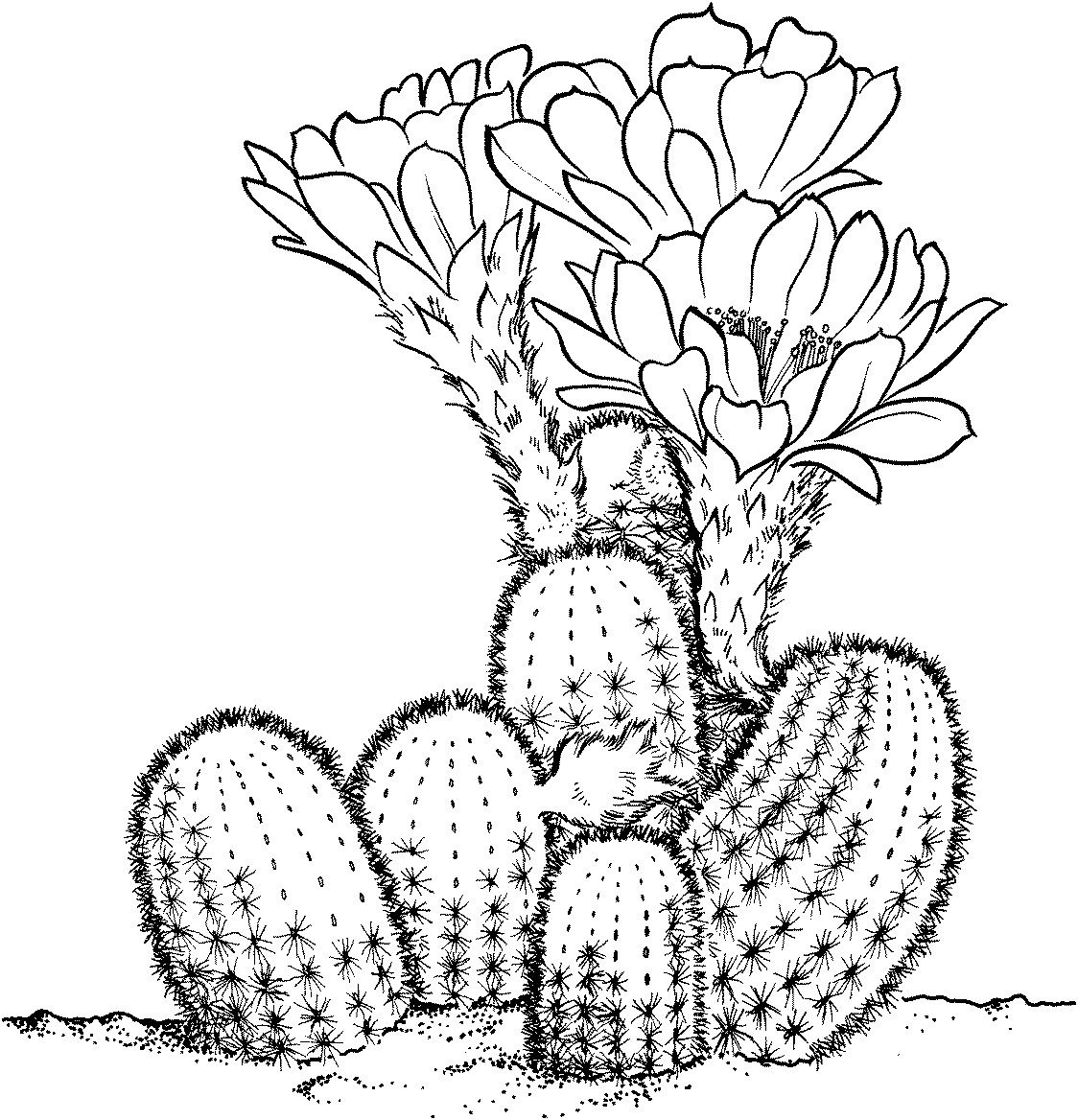 Cactaceae Cactus Drawing Cactus Illustration Coloring Pages