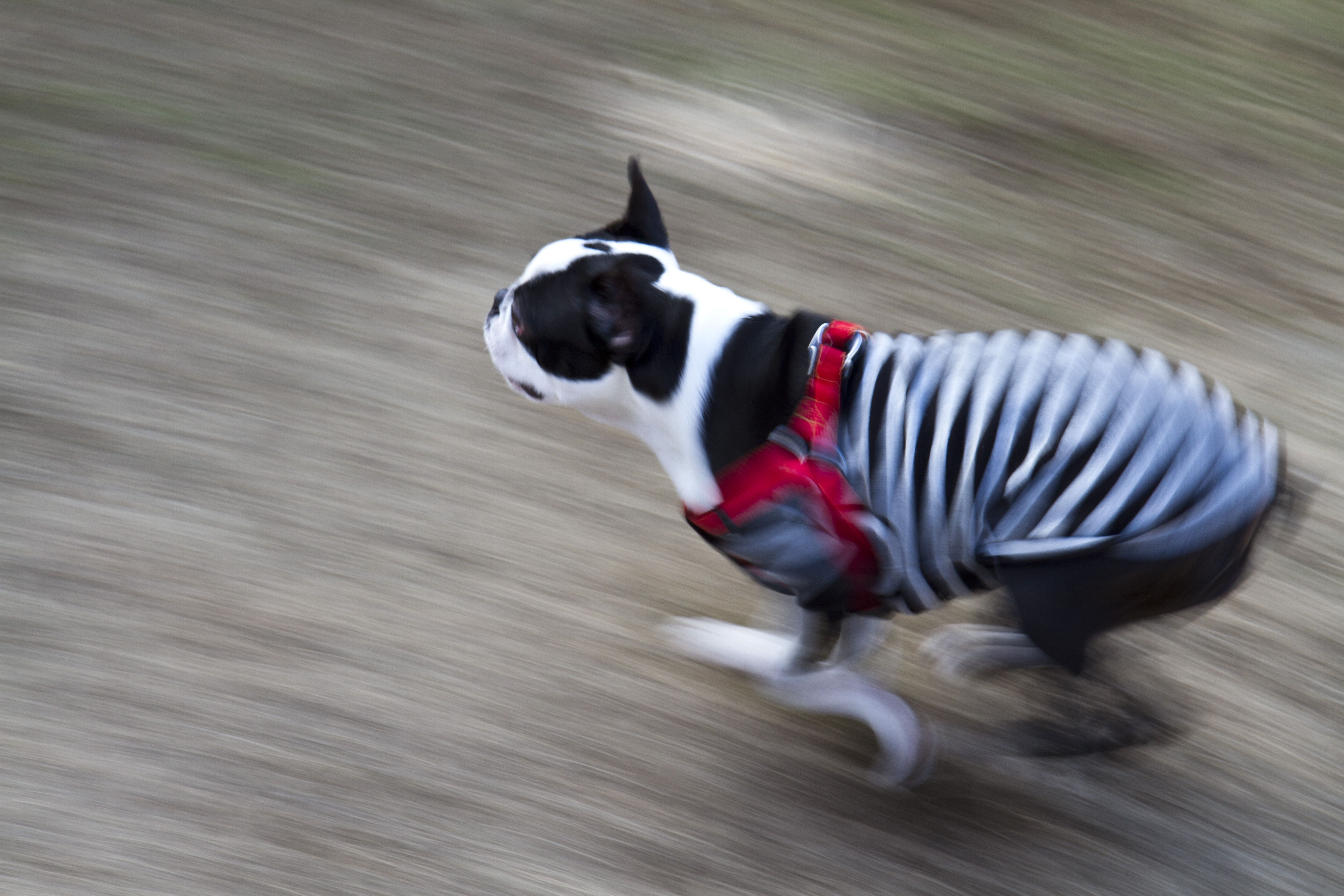 Fast running Boston Terrier. | puppys and cats | Pinterest