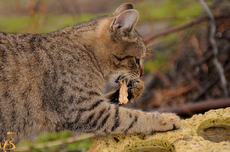 """""""fishing cat"""""""