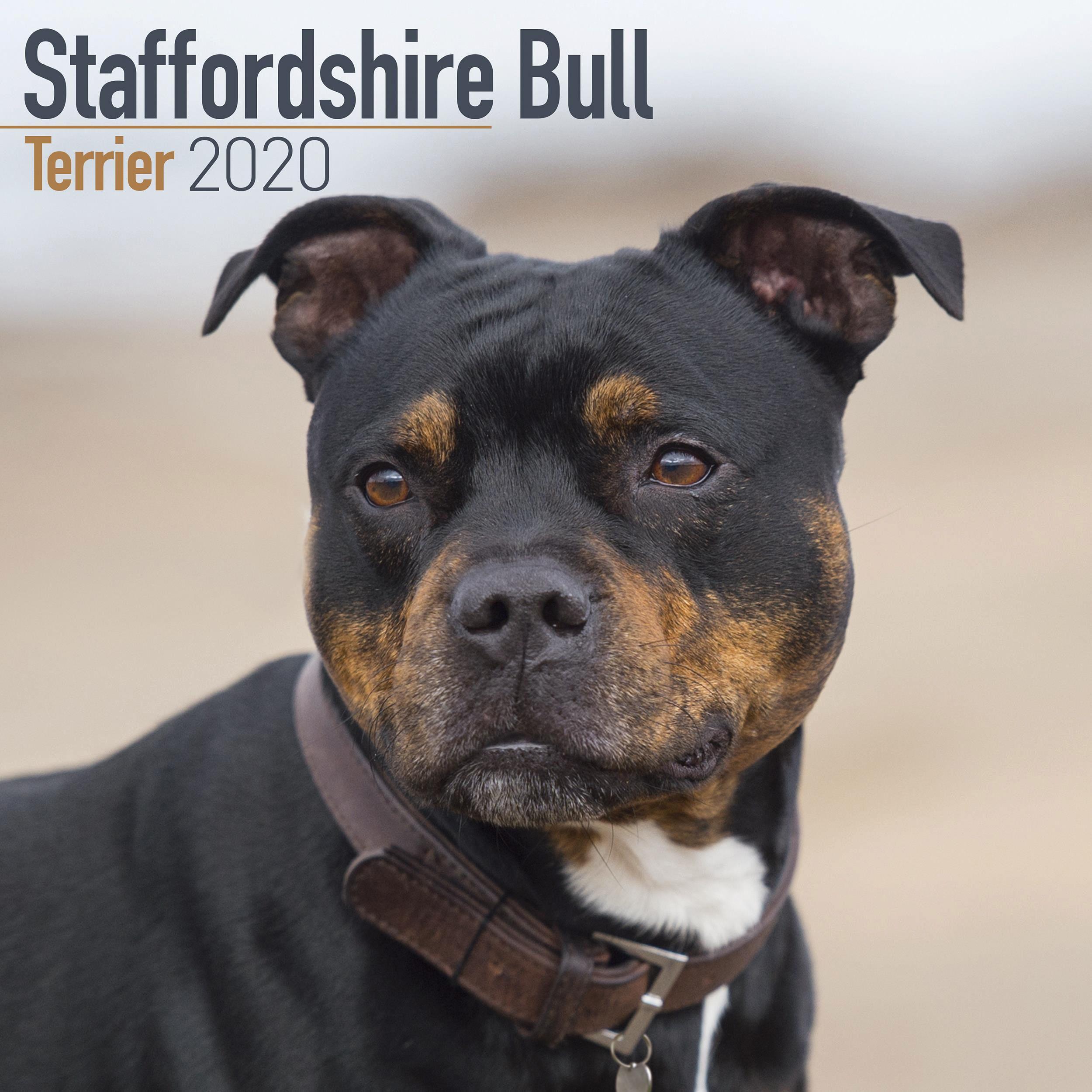 Staffordshire Bull Terrier Calendar 2020 Bull Terrier