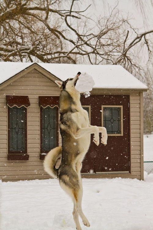 Artax - Loves grabbing the snow balls!