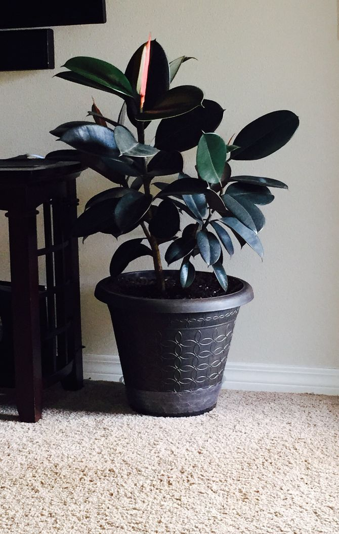 Grow A Rubber Tree Ficus Elastica Rubber Tree Trees To