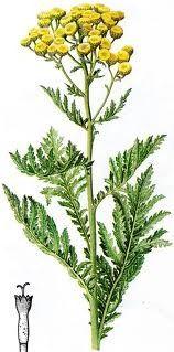 verfplant BOERENWORMKRUID - Tanacetum vulgare