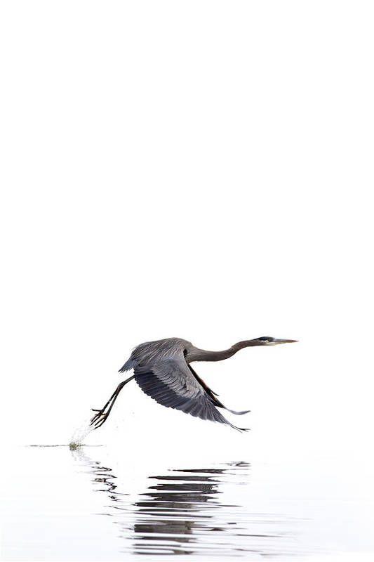Great Blue Heron Art Print by Jason Smith