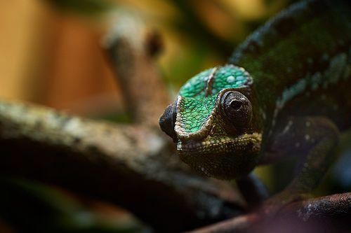 Chameleon from Daniel on flickr