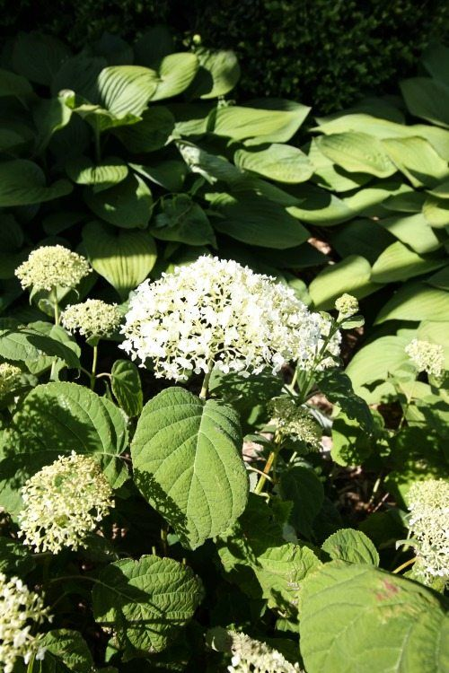 Try This Simple Hydrangea Trick If Your Plants Never Quite Look As Beautiful As You D Like Them To Hydrangea Care Planting Hydrangeas Flower Garden Care