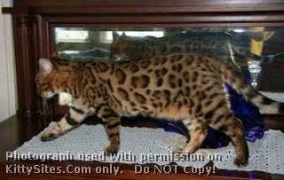 Bengal Cat Kitten Websites Bengal Cat Kitten Bengal Cat Bengal Cat Breeders