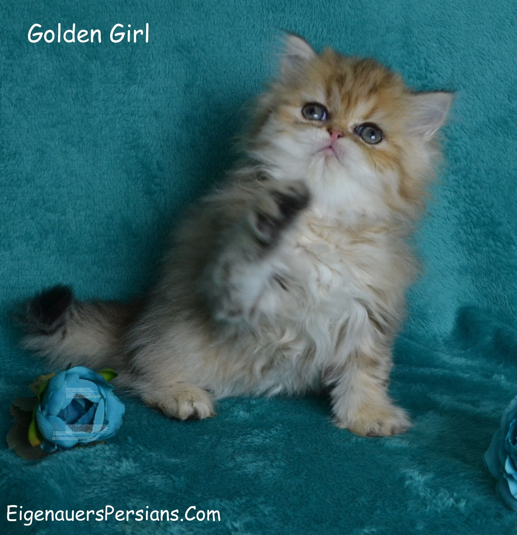 Persian CatsPersian Cats For SalePersians Kittens For
