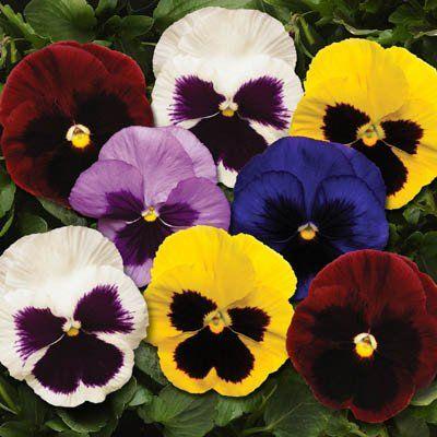 Pansy Spring Matrix Blotch Mix F1 Flores Exoticas Flores Naturaleza