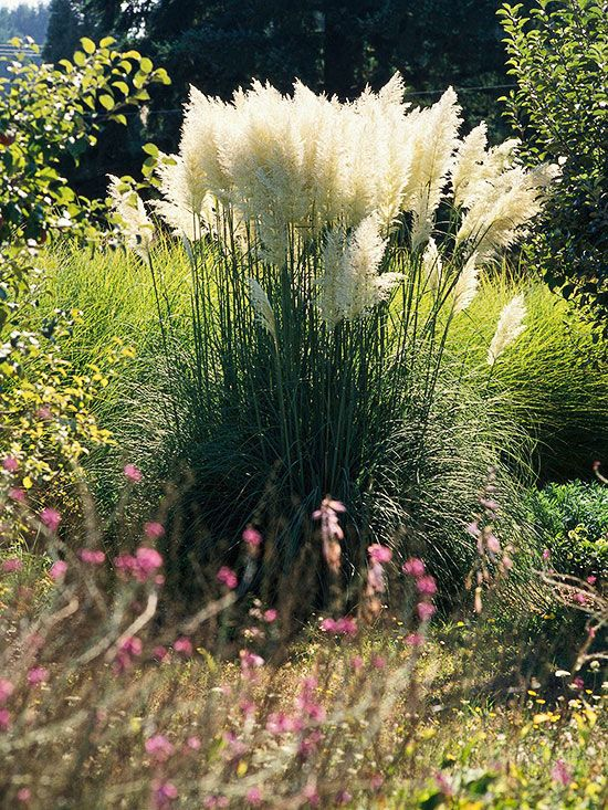 Dwarf Pampasgrass: Growing just 4-5 feet tall, dwarf pampasgrass develops showy white flower plumes in the late summer and fall. Use it in the back of the border where you can enjoy the flower heads all winter long. Like standard pampasgrass, the dwarf variety can become invasive, so plant it where its roots can't spread. It is deer- and drought-resistant and tolerates almost any soil type.