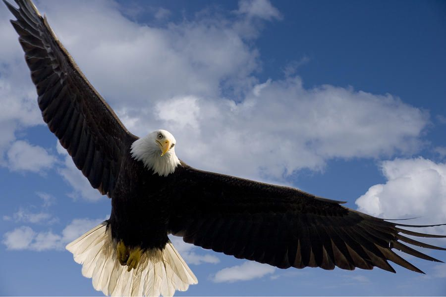 Eagle wingspan, An eagle and E...