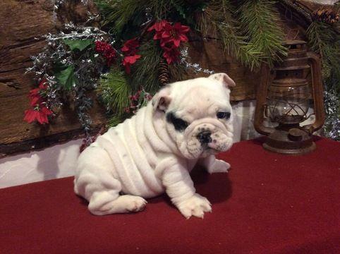 English Bulldog Puppy For Sale In Ephrata Pa Adn 58001 On