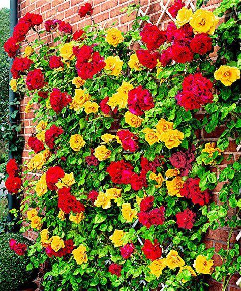 Installer un rosier grimpant contre un mur Rosier