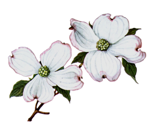dogwood clipart 20 dogwood flower clip art free cliparts that you rh pinterest com pink dogwood clipart dogwood blossom clipart