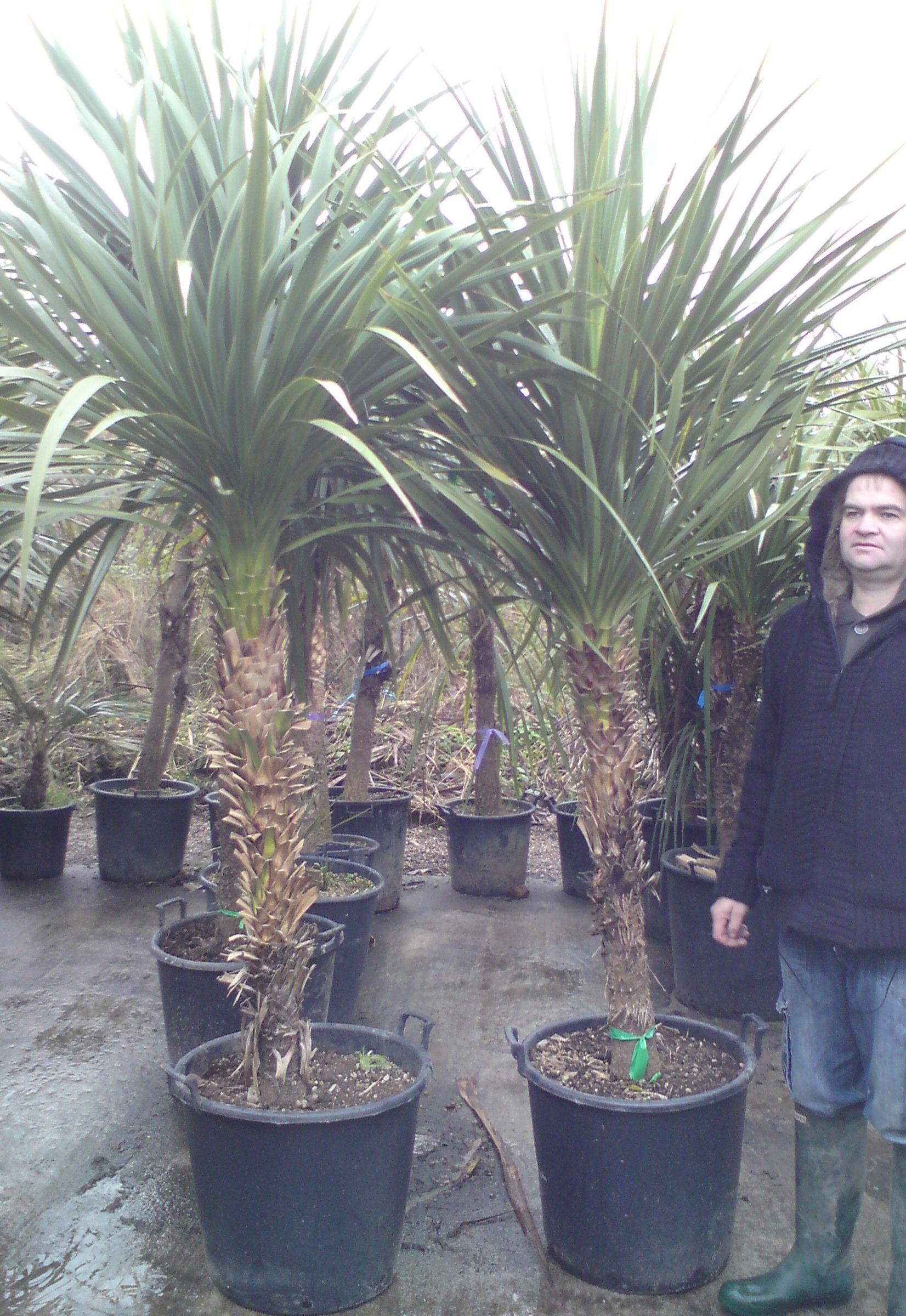 Cordyline Australis Cabbage Palm 255 275cm 8ft 6in 9ft Back Gardens Plants Palm