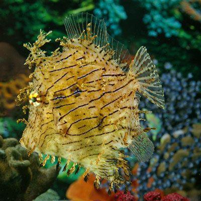 Tassel Filefish Beautiful Sea Creatures Saltwater Aquarium Fish Ocean Creatures