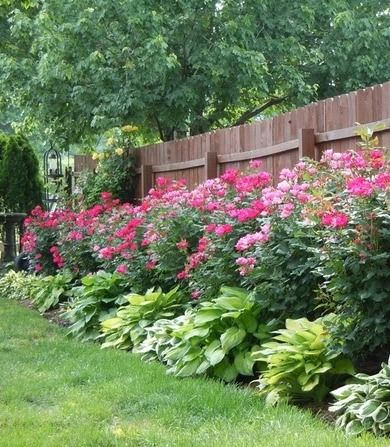 Knockout roses and hostas planted along fence Garden Pinterest