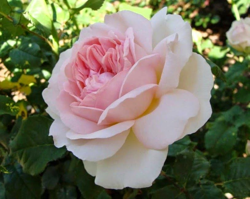 a143689b2c63 Kittike oldala - G-Portál | Rózsák / Roses | Virágok