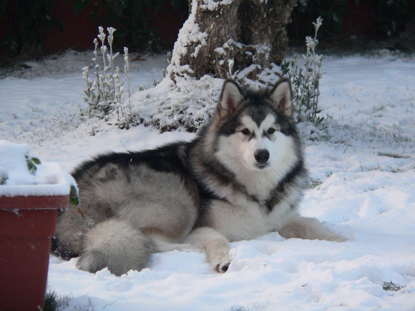Alaskan Malamute Dog Photo Alaskan Malamute In The Winter Forest