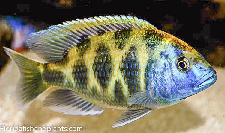Male Nimbochromis Venustus 1 25 Inch Haplochromide African Cichlid Ebay African Cichlids Cichlids Tropical Fish Aquarium