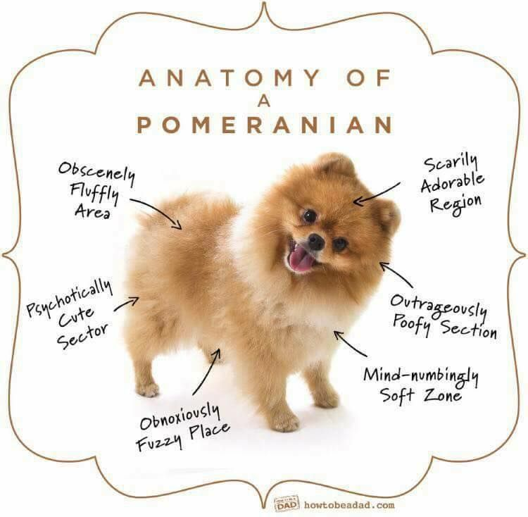 Pomeranian Adorableness Chart | Pomeranians | Pomeranian ...