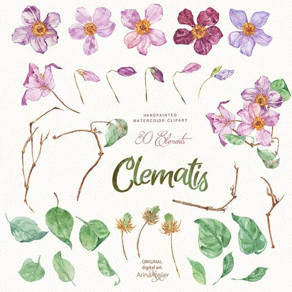 Clematis flowers watercolor clipart spring flowers digital flowers clematis flowers watercolor clipart spring graphicsatelier mightylinksfo