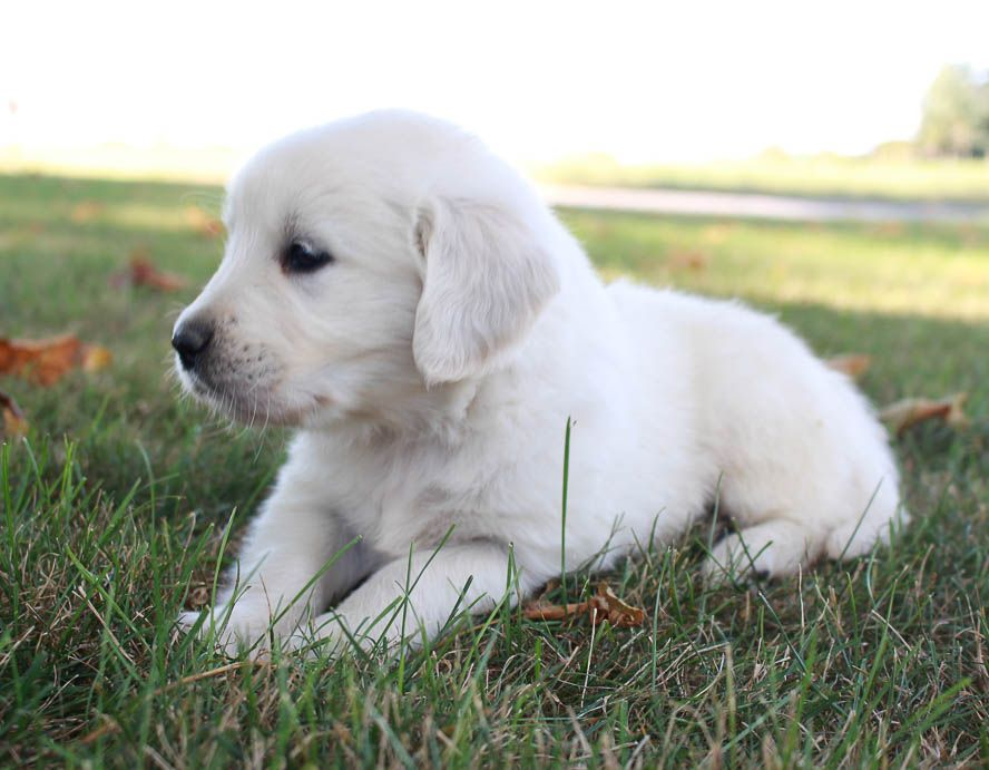 Oliver Akc Boy Golden Retriever Puppers For Sale In Grabill