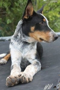 Kelpie Cross Blue Heeler Puppies Sale Heeler Puppies Blue