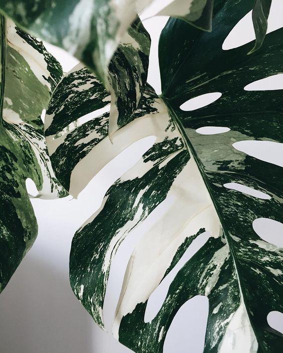 monstera variegata via littleandlush via lilibabatumblrcom