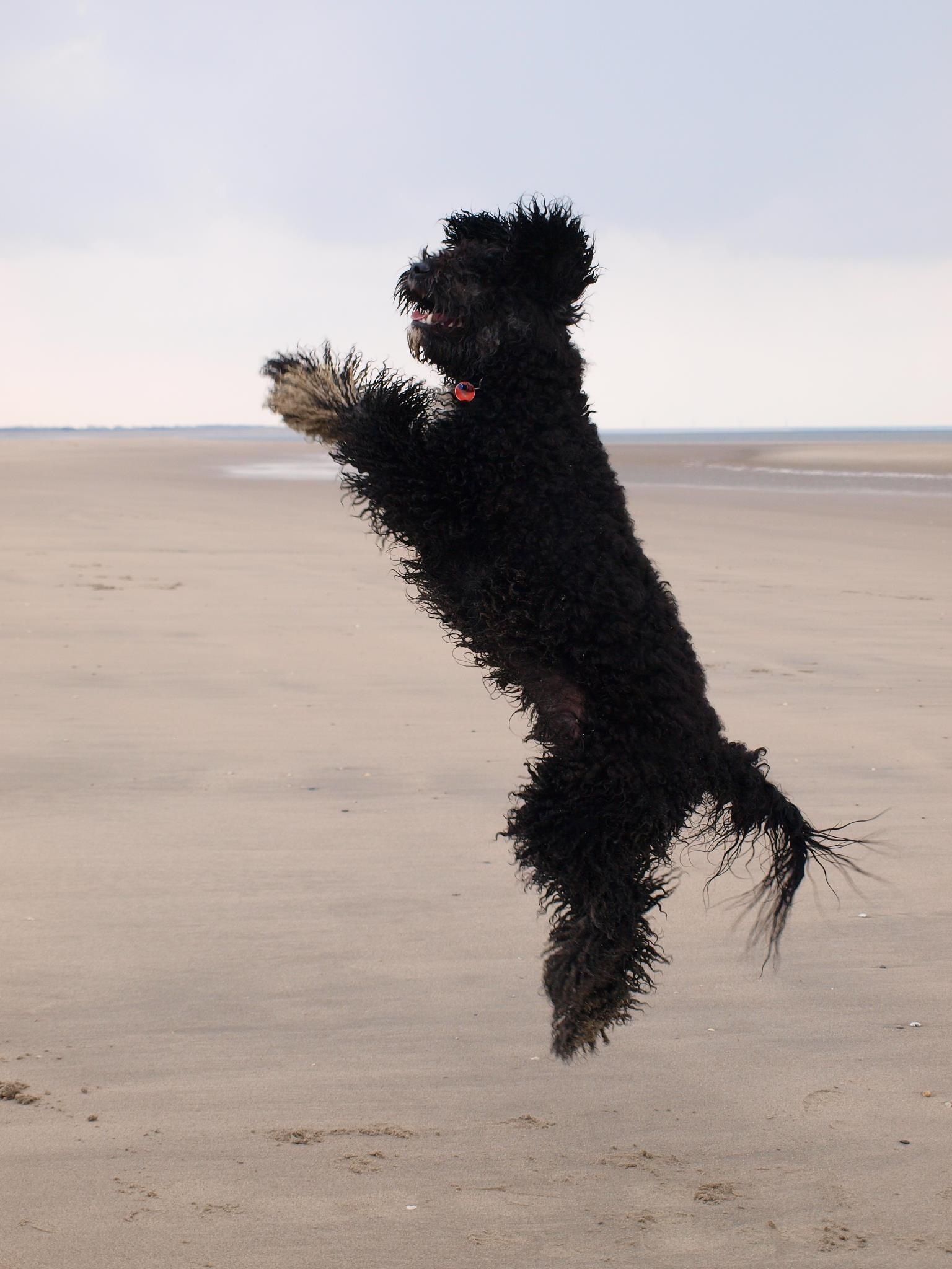 Our Jumping Medium Black Australian Labradoodle Labradoodle