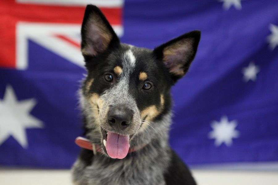 Fancy a true blue Aussie mate? I'm Bronson and I'm hoping