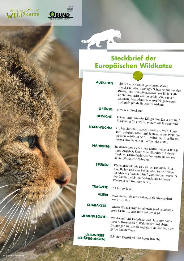 Steckbrief Der Europaischen Wildkatze In 2020 Wildkatze Wilde