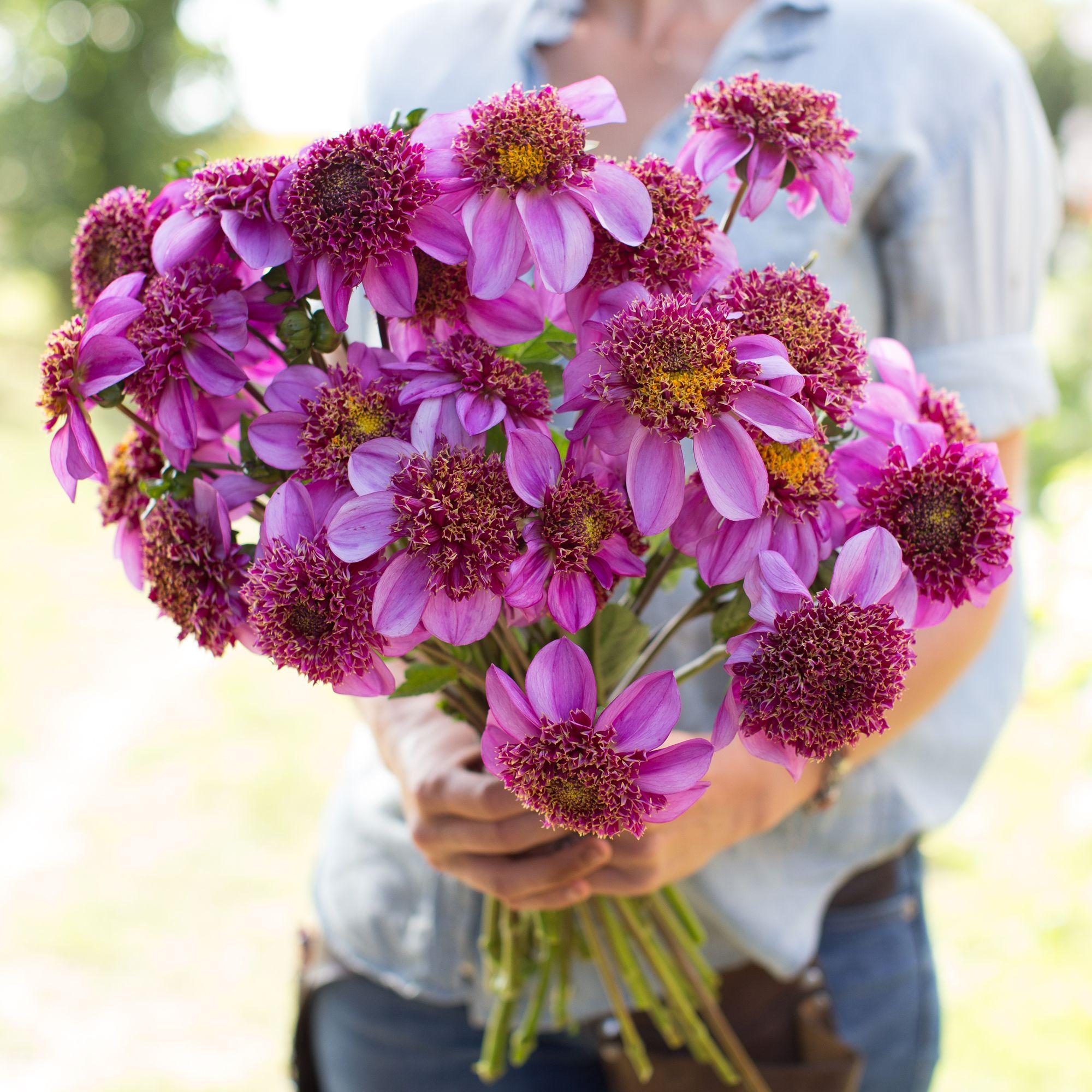 Dahlia dadus favorite dahlia plants and flowers