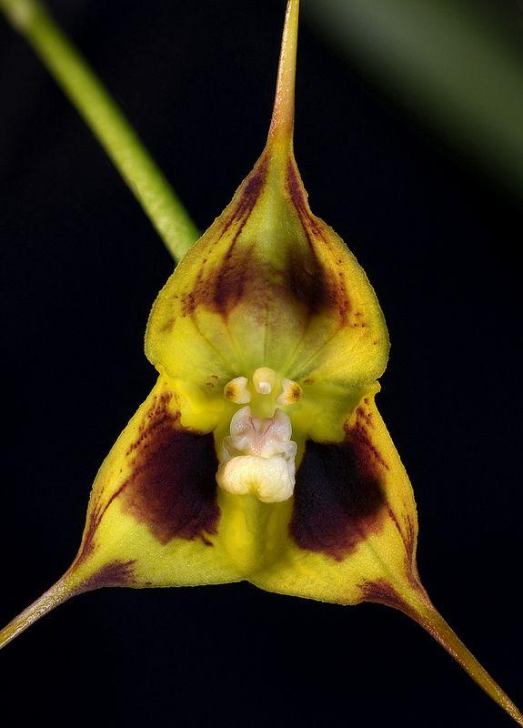 Dracula robledorum semi-xanthina