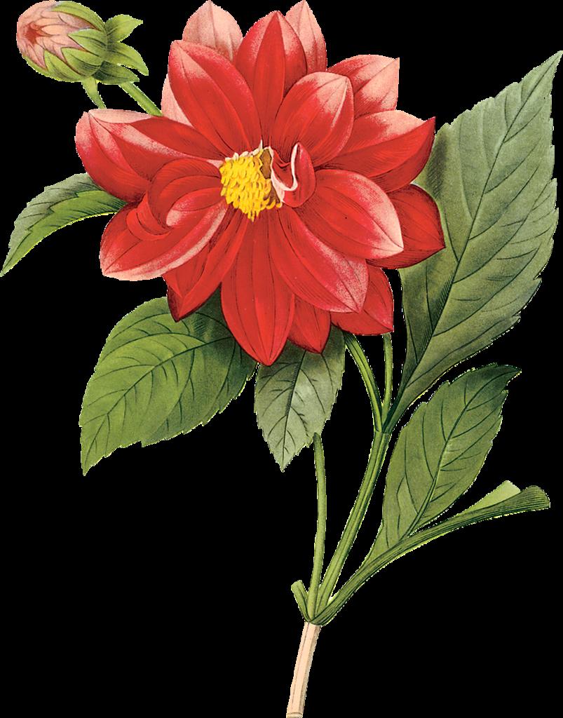 посадить красный цветок рисунок очень известный