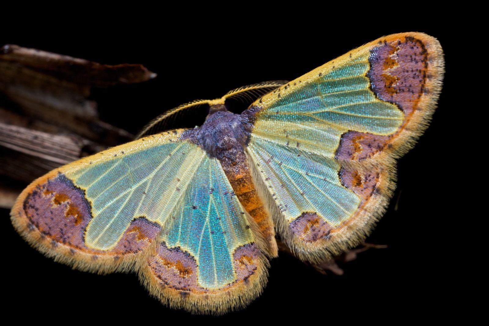Geometrid Moth Zamarada Sp Kelebekler Bocek Kanatlar